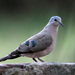 Emerald-spotted Wood-Dove - Photo (c) Dave Curtis, some rights reserved (CC BY-NC-ND)