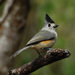 Black-crested Titmouse - Photo (c) Jerry Oldenettel, some rights reserved (CC BY-NC-SA)