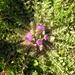 Cirsium acaule esculentum - Photo (c) Eugene Popov, algunos derechos reservados (CC BY)
