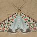 Utetheisa pulchella - Photo (c) Jaunne-Marelize Van Tonder, μερικά δικαιώματα διατηρούνται (CC BY-NC)
