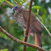 Speckled Chachalaca - Photo (c) Cláudio Dias Timm, some rights reserved (CC BY-NC-SA)