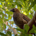 Scaled Chachalaca - Photo (c) Cláudio Dias Timm, some rights reserved (CC BY-NC-SA)