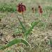 Tulipa suaveolens - Photo (c) Eugene Popov,  זכויות יוצרים חלקיות (CC BY)
