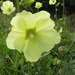 Alcea rugosa - Photo (c) Eugene Popov, algunos derechos reservados (CC BY)