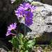 Primula amoena - Photo (c) Eugene Popov, algunos derechos reservados (CC BY)