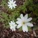 Anemonoides altaica - Photo (c) ksana, algunos derechos reservados (CC BY-NC)