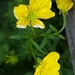 Hairy Buttercup - Photo (c) marekale, some rights reserved (CC BY-NC)