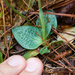 Checkered Rattlesnake Plantain - Photo (c) Ken-ichi Ueda, some rights reserved (CC BY)