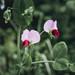 Pisum sativum elatius - Photo (c) cecilia1995, algunos derechos reservados (CC BY-NC)