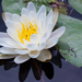 American White Waterlily - Photo (c) Ken-ichi Ueda, some rights reserved (CC BY)