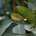 Indian White-Eye - Photo (c) Imran Shah, some rights reserved (CC BY-SA)