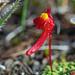 Utricularia menziesii - Photo (c) Jean and Fred Hort, osa oikeuksista pidätetään (CC BY-NC)