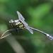 Gomphidia kelloggi - Photo (c) Tommy Hui,  זכויות יוצרים חלקיות (CC BY-NC)