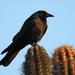 Corvus sinaloae - Photo (c) Whitney Tsai Nakashima, μερικά δικαιώματα διατηρούνται (CC BY-NC)