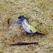 Cyprinodon salinus - Photo (c) sea-kangaroo,  זכויות יוצרים חלקיות (CC BY-NC-ND)