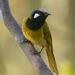White-eared Honeyeater - Photo (c) David Cook, some rights reserved (CC BY-NC)
