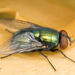 Common European Greenbottle Fly - Photo no rights reserved