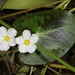 Little Floatingheart - Photo (c) Patrick Coin, some rights reserved (CC BY-NC-SA)