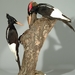 Imperial Woodpecker - Photo (c) Fritz Geller-Grimm, some rights reserved (CC BY-SA)