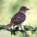 Mosquero Elenia Caribeño - Photo (c) New Jersey Birds, algunos derechos reservados (CC BY-SA)