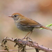 Ruddy-capped Nightingale-Thrush - Photo (c) Muchaxo, some rights reserved (CC BY-NC-ND)