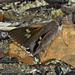 Mesodina halyzia - Photo (c) Pete Woodall, algunos derechos reservados (CC BY-NC)