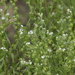 Lappula occidentalis - Photo (c) J. N. Stuart, algunos derechos reservados (CC BY-NC-ND)