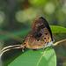 Bindahara phocides - Photo (c) Green Baron, μερικά δικαιώματα διατηρούνται (CC BY-NC-SA)