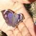 Forrer's Leafwing - Photo (c) Francisco Farriols Sarabia, some rights reserved (CC BY)