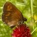Erebia alberganus - Photo (c) AnneTanne,  זכויות יוצרים חלקיות (CC BY-NC)