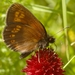 Almond Ringlet - Photo (c) AnneTanne, some rights reserved (CC BY-NC)