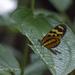 Mechanitis polymnia kayei - Photo (c) drjayf, algunos derechos reservados (CC BY-NC-ND)