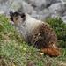Marmota Canosa - Photo (c) Bob McDougall, algunos derechos reservados (CC BY-NC)
