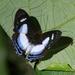 Mariposa Marinera - Photo (c) Dominik Hofer, algunos derechos reservados (CC BY-NC-SA)