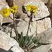 Packera werneriifolia - Photo (c) Jim Morefield, μερικά δικαιώματα διατηρούνται (CC BY)