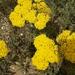 Achillea arabica - Photo (c) עומר וינר, algunos derechos reservados (CC BY-NC)