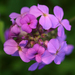 Hesperis - Photo (c) Steve Guttman, algunos derechos reservados (CC BY-NC-ND)