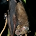 Pygmy Fruit-eating Bat - Photo (c) Felineora, some rights reserved (CC BY-SA)