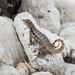 Northern Curly-tailed Lizard - Photo (c) nancynorman, some rights reserved (CC BY-NC)