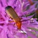Rhagonycha - Photo (c) Walwyn, some rights reserved (CC BY-NC-SA)