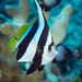 Schooling Bannerfish - Photo (c) 104623964081378888743, some rights reserved (CC BY-NC), uploaded by David R