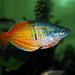 Australasian Rainbowfishes - Photo (c) papydiesel95, some rights reserved (CC BY-NC-SA)