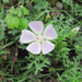Slim-lobe Poppy-Mallow - Photo (c) Chuck Sexton, some rights reserved (CC BY-NC)