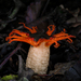 Anemone Stinkhorn Fungus - Photo (c) Joseph, some rights reserved (CC BY-NC)