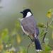 Tuta-d'Orelhas-Brancas - Photo (c) Saurabh Agrawal, alguns direitos reservados (CC BY-NC)