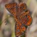 Calephelis virginiensis - Photo (c) cyric, algunos derechos reservados (CC BY-NC-SA)