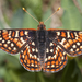 Edith's Checkerspot - Photo (c) Bill Bouton, some rights reserved (CC BY-NC)