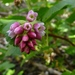 Mountain Pink Currant - Photo (c) randomtruth, some rights reserved (CC BY-NC-SA)