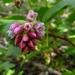 Ribes nevadense - Photo (c) randomtruth, μερικά δικαιώματα διατηρούνται (CC BY-NC-SA)