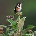 Chaetocercus - Photo (c) David Cook Wildlife Photography, algunos derechos reservados (CC BY-NC)